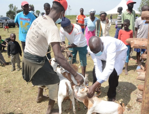 Farmers Warned Of Possible Diseases Outbreak As Mass Vaccination Launched